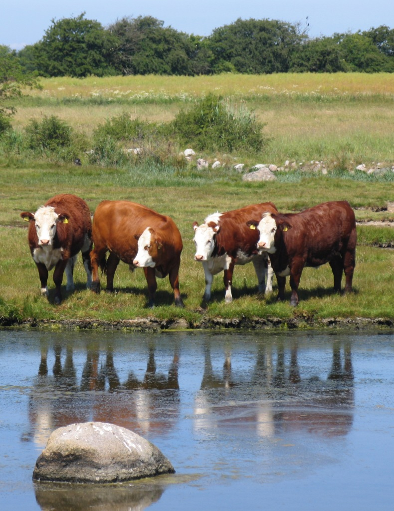Cows water